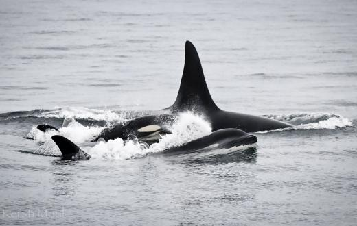 a pair of orcas porpoising together