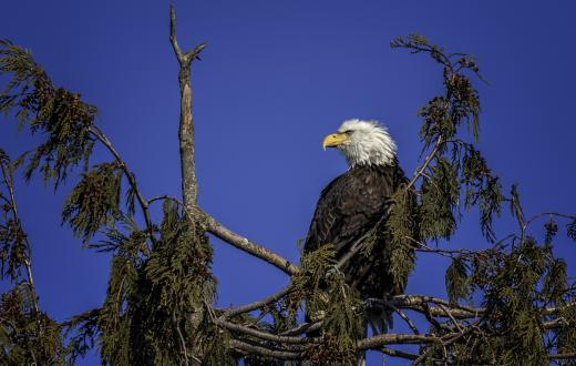 bald eagle in the skagit valley sitting on a treetop surveying her domain