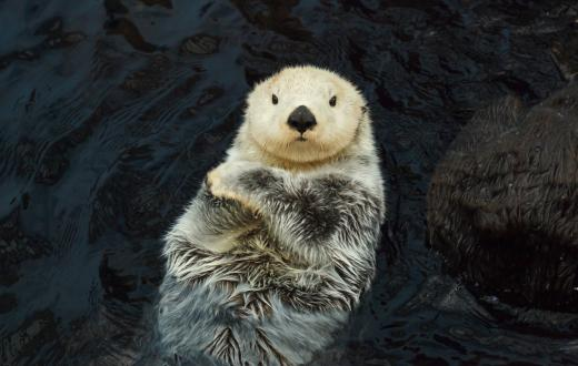 Cute sea otter with arms crossed floating on back Seattle Aquarium reopens to local families February 2021
