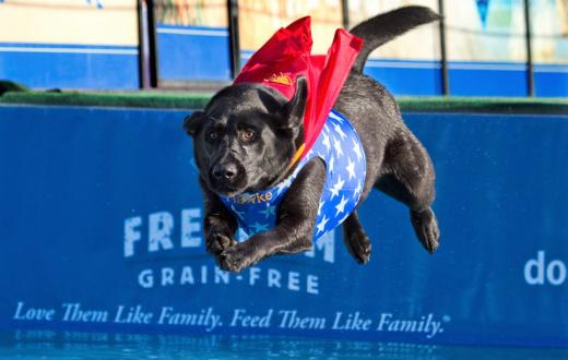 A black dog wears a red cape while seeming to fly through the air as part of the Dock Dogs show at the Washington State Spring Fair in Puyallup