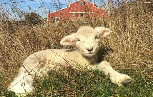 Adorable white lamb in field with red barn in the background best family farm stays around Washington for Seattle area families