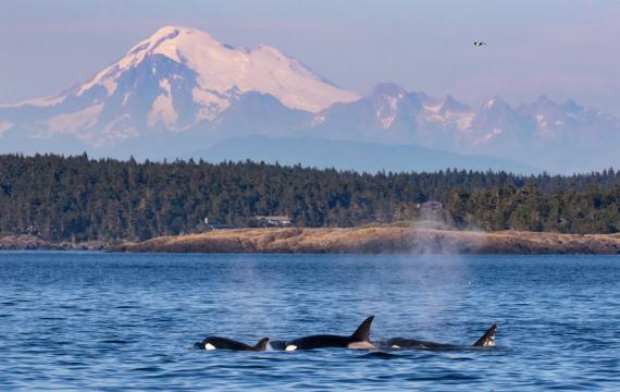 san juan safaris mark gardner credit orcas surfacing with mountains in the background