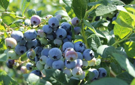 blueberries rip for the picking at local u-pick farms