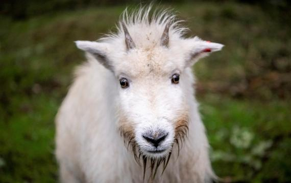 Ellinor-the-mountain-goat-at-Northwest-Trek-Wildlife-Park