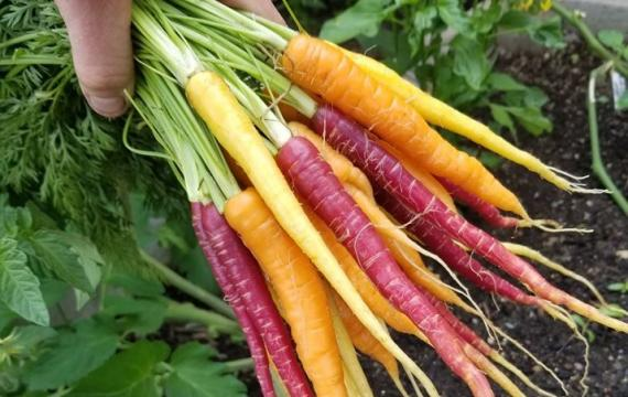 colorful carrot bunch from Sound Sustainable Farm CSA Seattle area CSAs to join now